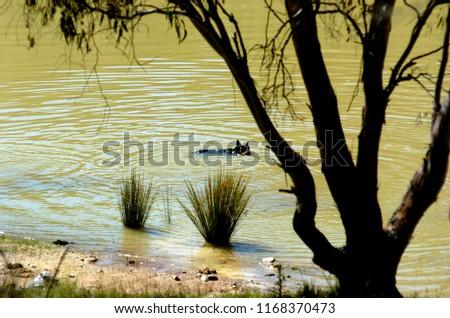A kelpie has a drink while swimming in dam on Australian farm. #1168370473