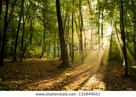 Sunbeams pour through trees in forest Royalty-Free Stock Photo #116844061
