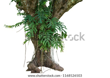 Jungle tree trunk with tropical foliage plants, climbing Monstera (Monstera deliciosa) and forest orchid green leaves growing in wild isolated on white background with clipping path. #1168526503
