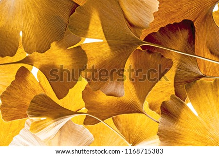 the background from fresh green Ginkgo biloba leaves #1168715383