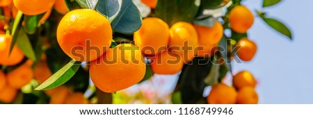 Calamondine fruits and foliage on dwarf  tree. Calamondin Citrus microcarpa, Citrofortunella microcarpa. Mandarin Orange citrus fruits grow on citrus tree. Ripe tangerines, close up  #1168749946