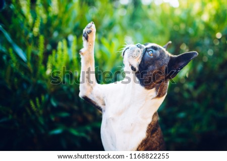 Give me a five - friendship -  boston terrier giving five
