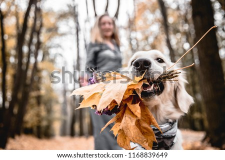 Fun walking in the autumnal park. Cropped image of golden retriever is holding a bouquet when  his owner in the background. #1168839649