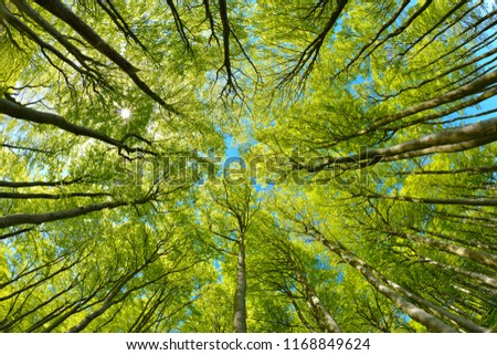 Beech Trees Forest from below, Early Spring, fresh green leaves Royalty-Free Stock Photo #1168849624