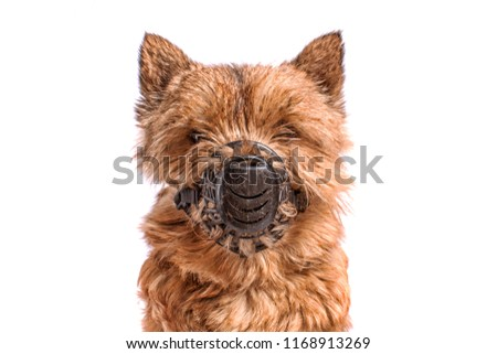 Portrait of a small dog (Norwich Terrier) in a black, old muzzle with scratches on an isolated background. Halloween costume. #1168913269