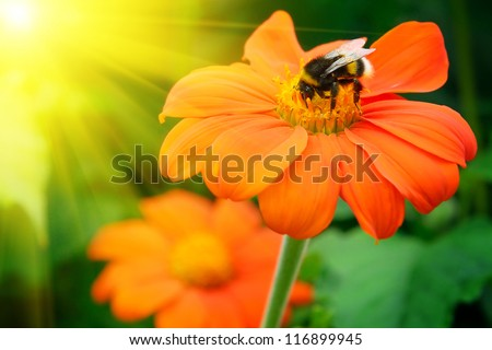 Bumble bee pollinating a flower lit by the sun #116899945