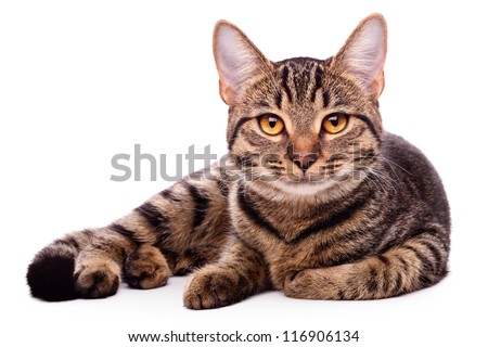 Portrait of brown-eyed cat isolated on white background #116906134
