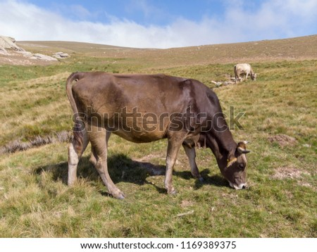Amazing aerial drone view of a brown and white cow grazing on a green field in Turkey #1169389375
