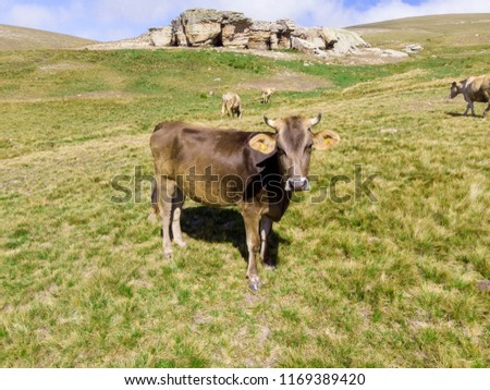 Amazing aerial drone view of a brown and white cow grazing on a green field in Turkey #1169389420