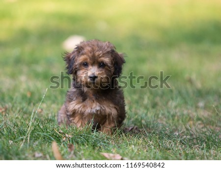 Havanese puppy dog #1169540842