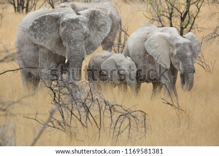 a big elephant family in africa is walking around for eating and drinking water #1169581381
