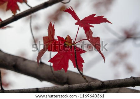 Red leafs tree in the fall #1169640361