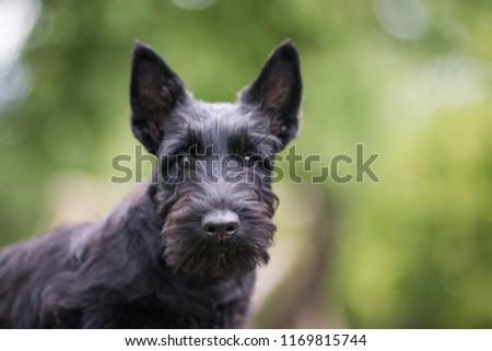 Black scottish terrier puppy posing outside at summer. Young and cute terrier baby. #1169815744