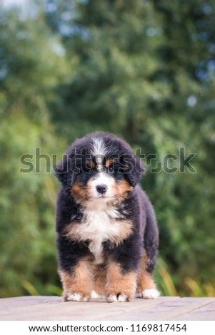 Bernese mountain dog puppy in kennel. Cute puppy posing outside. #1169817454