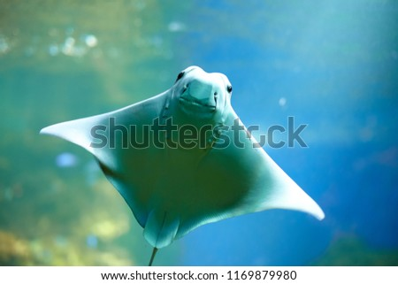 Smiling Stingray swimms under blue water. Closeup Stingray through aquarium window.
