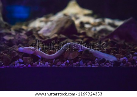 The olm or proteus or Proteus anguinus is an aquatic salamander in the family Proteidae, the only exclusively cave-dwelling chordate species found in Europe, Slovenia Royalty-Free Stock Photo #1169924353
