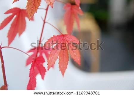 Nature scene of red maple leaves with blurred background and copy space #1169948701