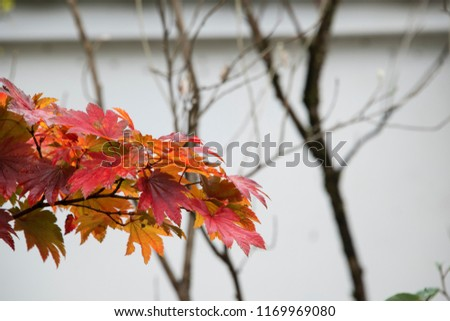 Red maple leaf in Kyoto #1169969080