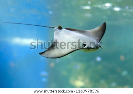 Stingray swimms under blue water. Closeup Stingray through aquarium window.