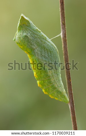 A few hours later caterpillar turns into pupa #1170039211
