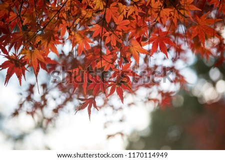 Leaves a beautiful Japanese color. #1170114949
