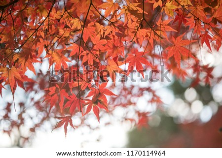 Leaves a beautiful Japanese color. #1170114964