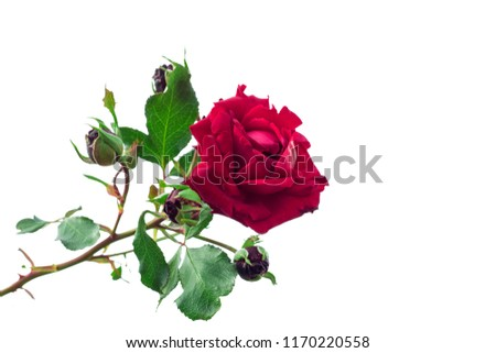 Flower of a red rose on a bush isolated #1170220558
