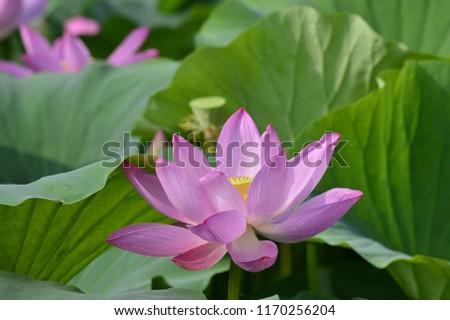 Blooming lotus flowers in the park #1170256204