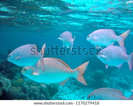 Swimming with sea animals in Hol Chan Marine Reserve, Belize Royalty-Free Stock Photo #1170279418