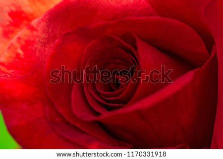 Close up of Red Rose #1170331918