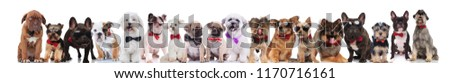 adorable large team of stylish dogs with bowties standing, sitting and lying on white background #1170716161