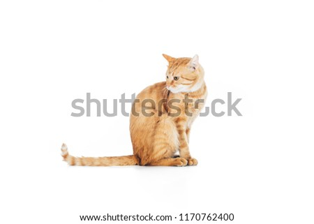 side view of cute domestic ginger cat with long tail sitting isolated on white #1170762400
