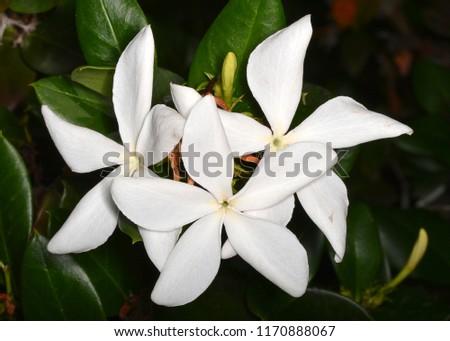 Carissa macrocarpa (Natal plum), a shrub native to South Africa (Apocynaceae family).  #1170888067