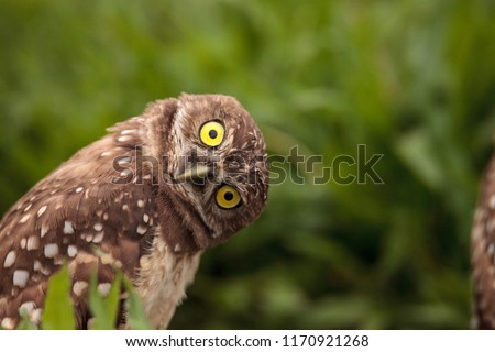 Funny Burrowing owl Athene cunicularia tilts its head outside its burrow Royalty-Free Stock Photo #1170921268