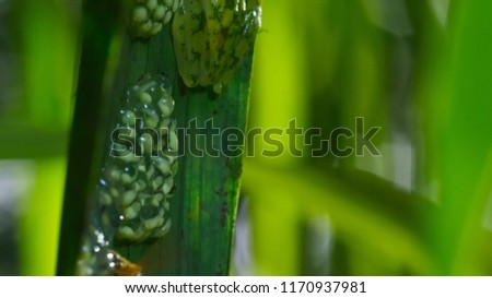 Male Reticulated Glass Frog (Hyalinobatrachium valerioi) guarding a clutch of eggs. #1170937981