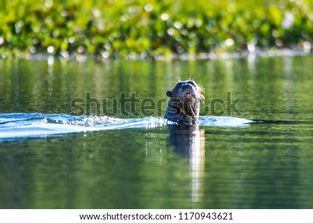 Giant Brazilian Otter photographed in Corumba, Mato Grosso do Sul. Pantanal Biome. Picture made in 2017.