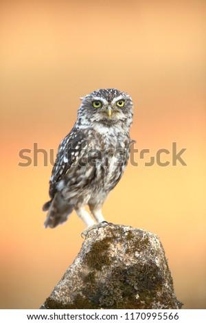 Little owl (Athene noctua) perched on a stone