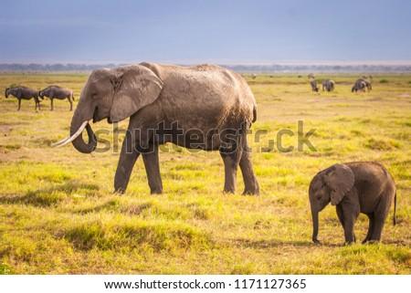 Elephant and elephant. Kenya. Safari in Africa. African elephant. Animals of Africa. Travel to Kenya. Family of elephants. Royalty-Free Stock Photo #1171127365