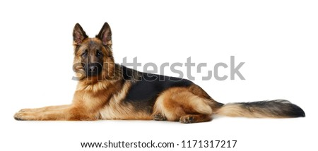 Young Fluffy German Shepherd Dog lying against white background. Two Years Old Pet. #1171317217