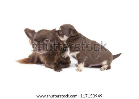 chihuahua pup #117150949