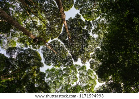 Wonderful low angle shot of small and large gaps between the tops of trees, as if they are trying to avoid touching each other. The crown shyness was taken in FRIM in Kepong, Malaysia.