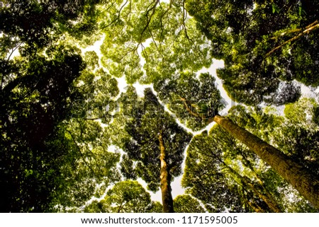 A nice low angle shot of canopy shyness or intercrown spacing, a phenomenon where the crowns of fully stocked trees do not touch each other, forming a canopy with channel-like gaps. Shot in Malaysia.