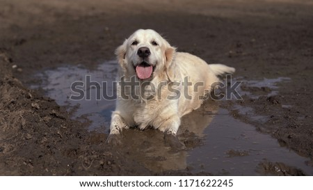 Funny picture - a beautiful thoroughbred dog with joy lying in a muddy puddle
