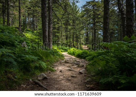 Mysterious path full of roots in the middle of wooden coniferous forrest, surrounded by green bushes and leaves and ferns found in Corse, France Royalty-Free Stock Photo #1171639609