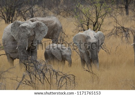 a big elephant family in africa is walking around for eating and drinking water #1171765153