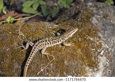 Wild nature abstract photo. Lizard on stone. #1171786870