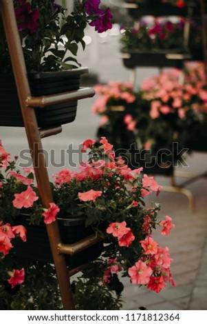 beautiful pink petunias #1171812364