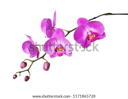 Pink flower of a phalaenopsis orchid with several buds on a branch, isolated on a white background