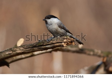 Willow tit (Poecile montanus) sits on a branch, clutching a sunflower seed between the legs, pulling out to pull out the nucleolus. #1171894366