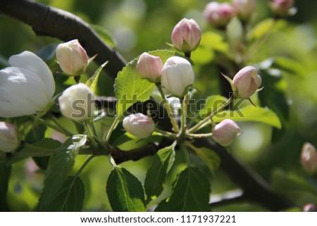 delicate Apple blossoms #1171937221